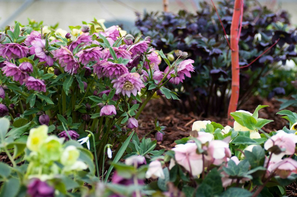 Part of our Hellebore display bed