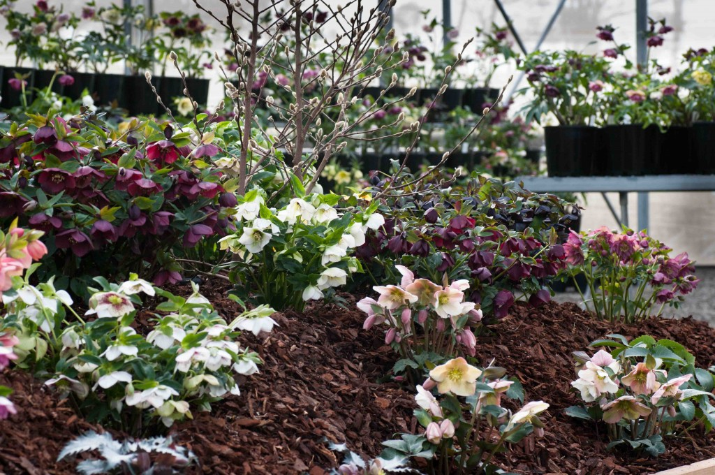 Part of our Hellebore display area for this seasons Open Days