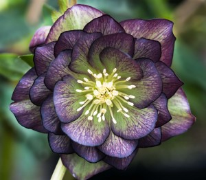 Helleborus x hybridus green purple bicolour