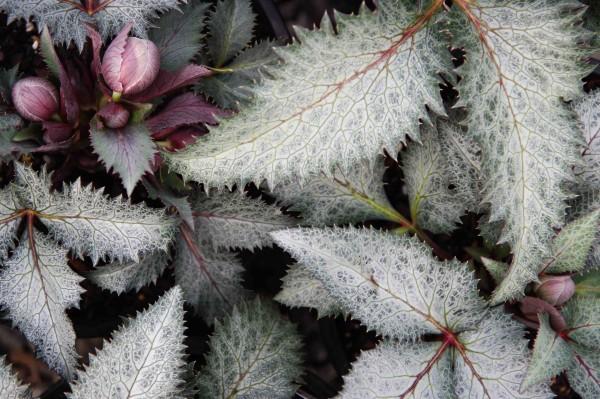 Helleborus x sternii 'Ashwood Strain'