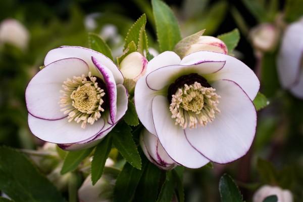 Helleborus x hybridus 'Picotee'