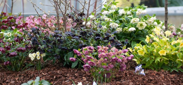 A section of our Hellebore display beds at their peak during last years Open Days