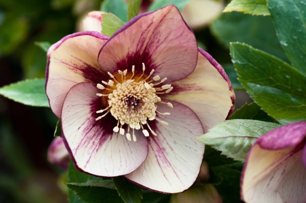 Helleborus x hybridus yellow picotee with gold nectaries