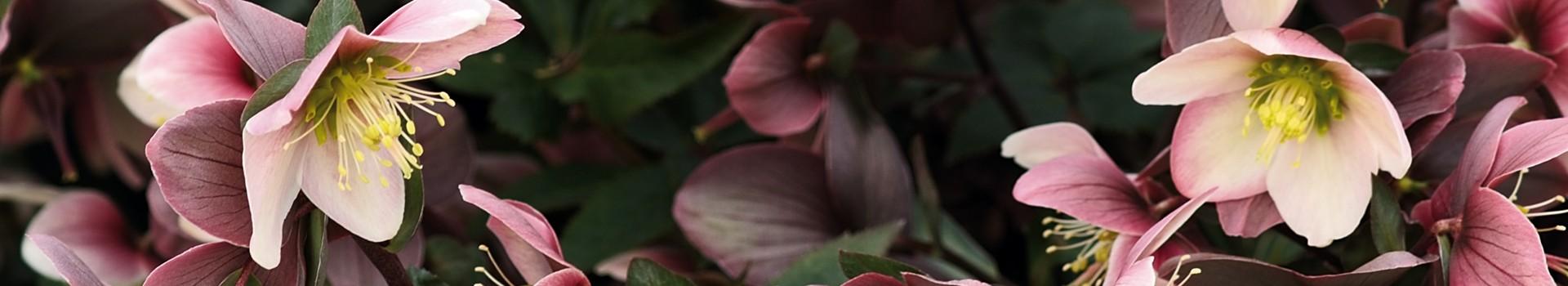 Helleborus Niger and its hybrids