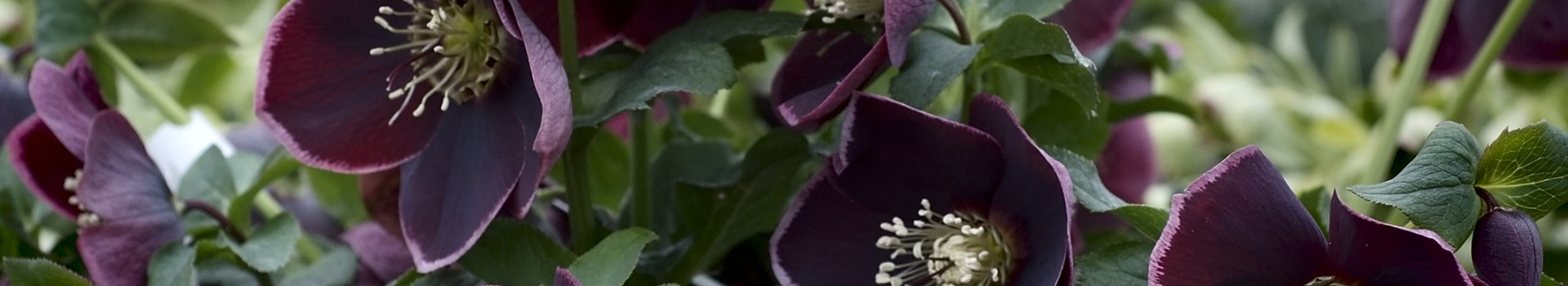 Helleborus x hybridus selections