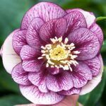 Helleborus x hybridus Double veined
