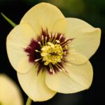 Helleborus x hybridus 'yellow dark centre'